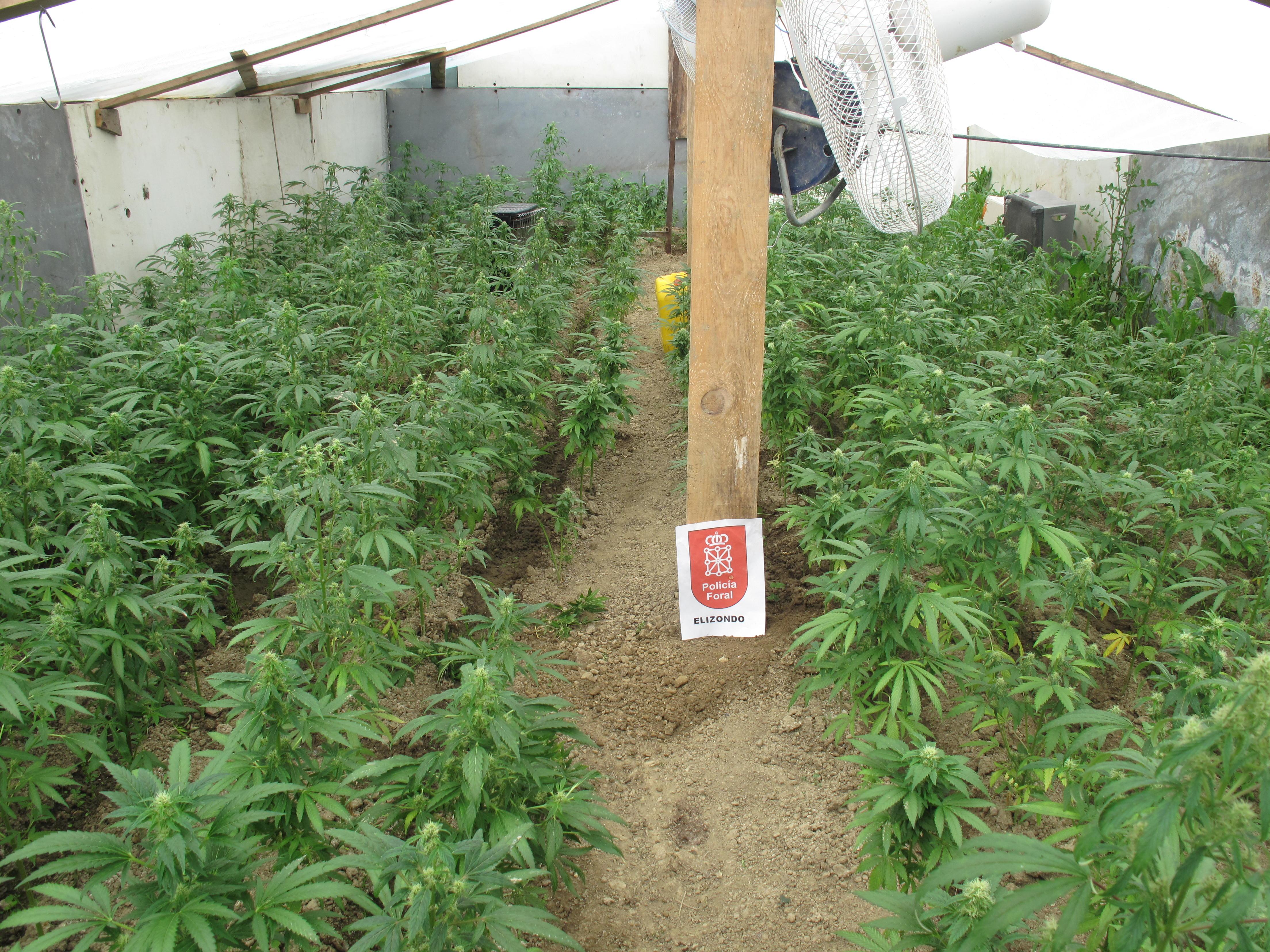 La polic a foral descubre en esteribar un invernadero con for Plantas para invernadero